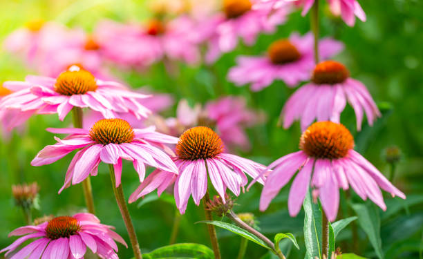 Purple Coneflowers flowerbed