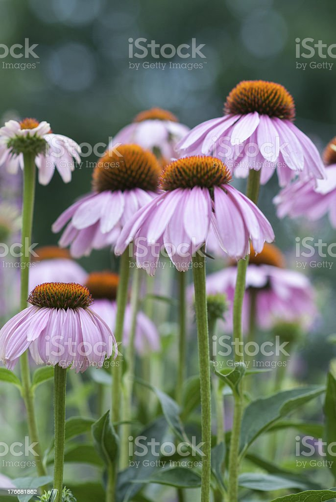 Purple Coneflowers in the Garden royalty-free stock photo