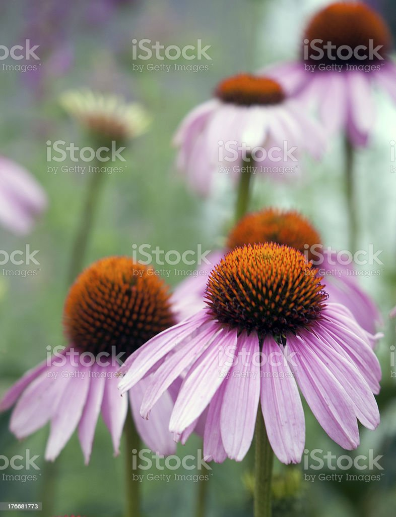 Purple Coneflowers royalty-free stock photo