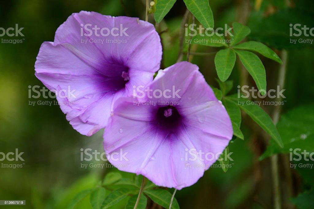 purple convolvulus sabatius stock photo