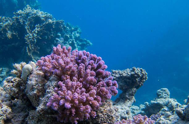 purple korallen am riff - coral and mauve stock-fotos und bilder