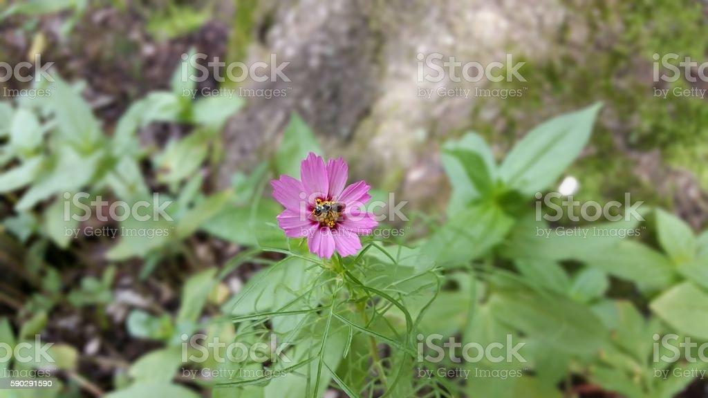 Purple coreopsis flower Стоковые фото Стоковая фотография