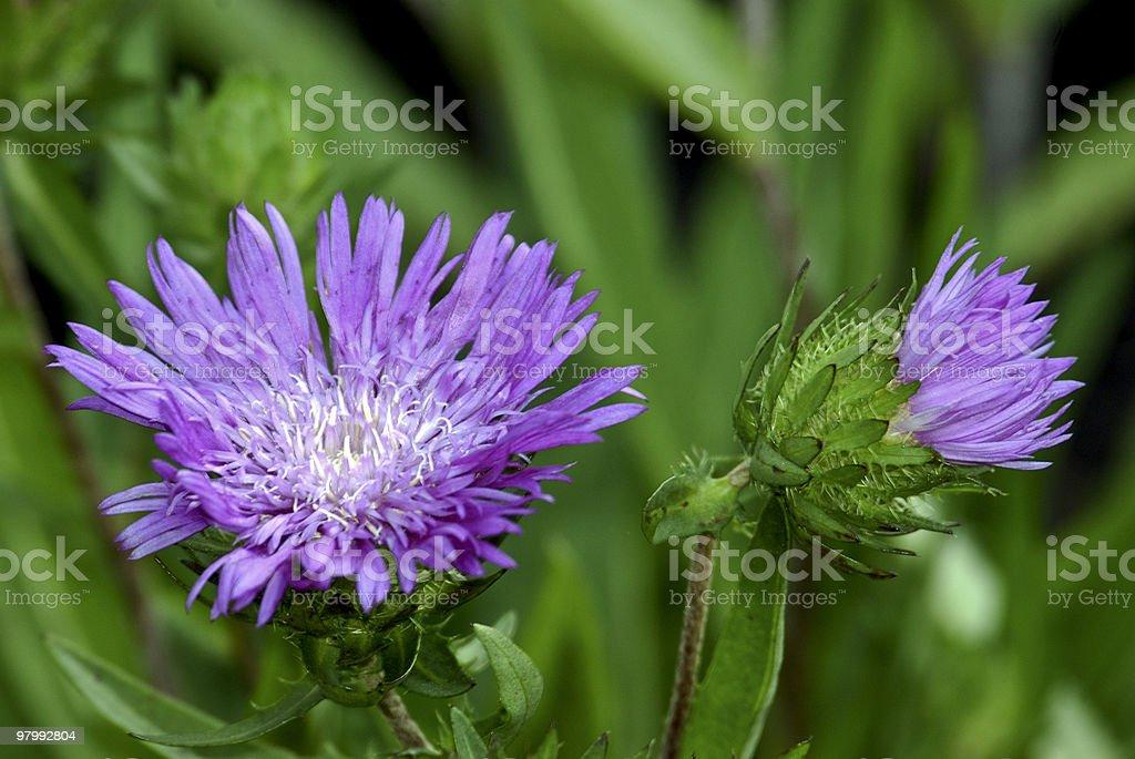 Purple Cornflower Aster royalty-free stock photo