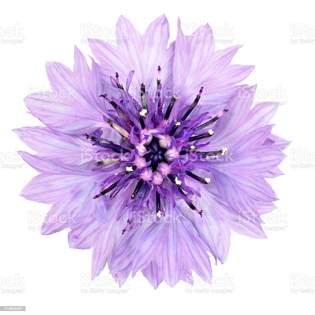 Purple Cornflower Flower Isolated on White Background stock photo
