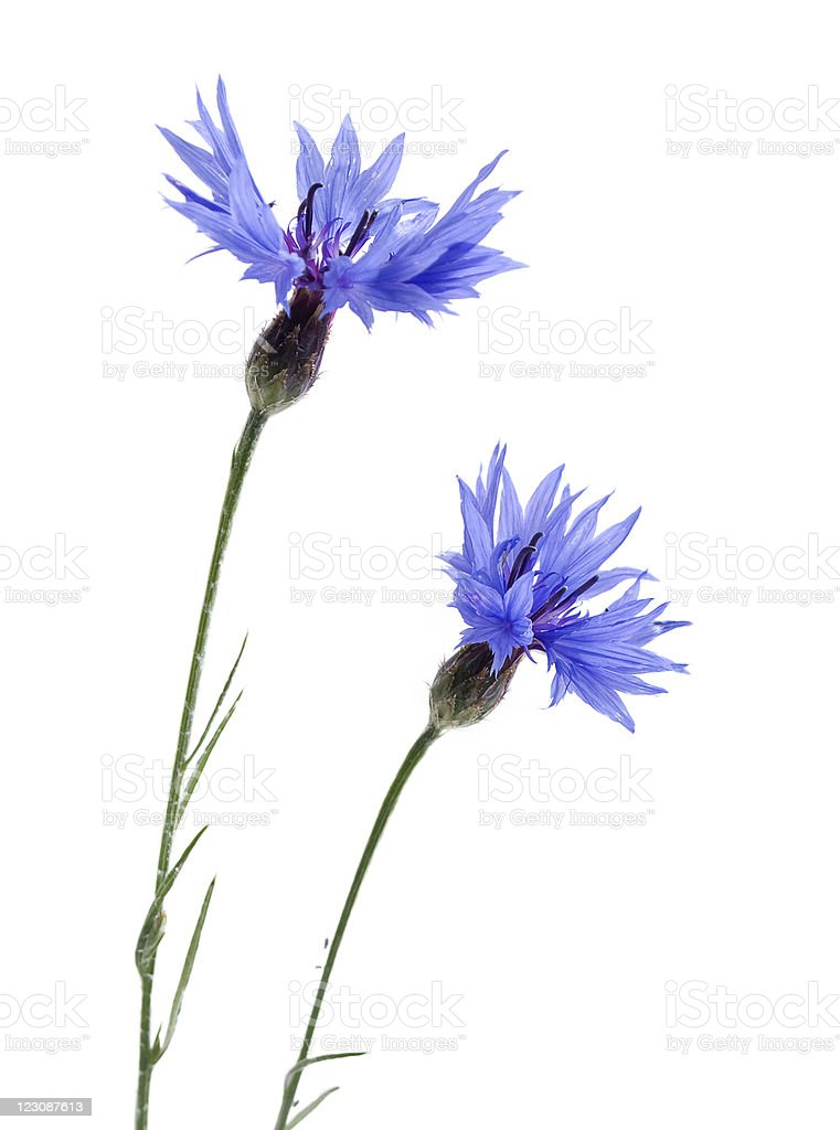 Purple cornflowers on a white background stock photo