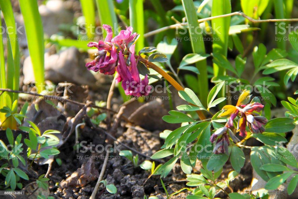 Purple corydalis flower on spring stock photo