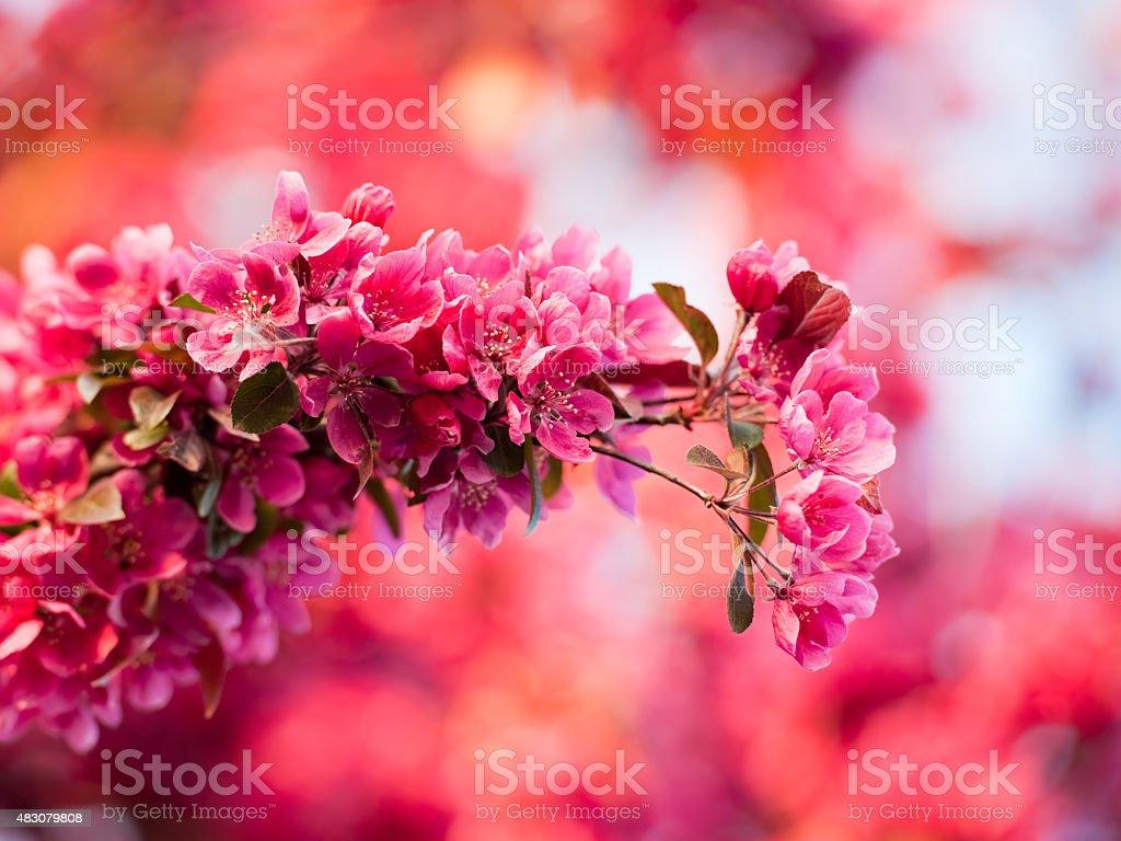Púrpura flor de manzana silvestre - foto de stock