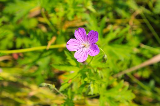 Purple Cranesbill Flower Stock Photo - Download Image Now