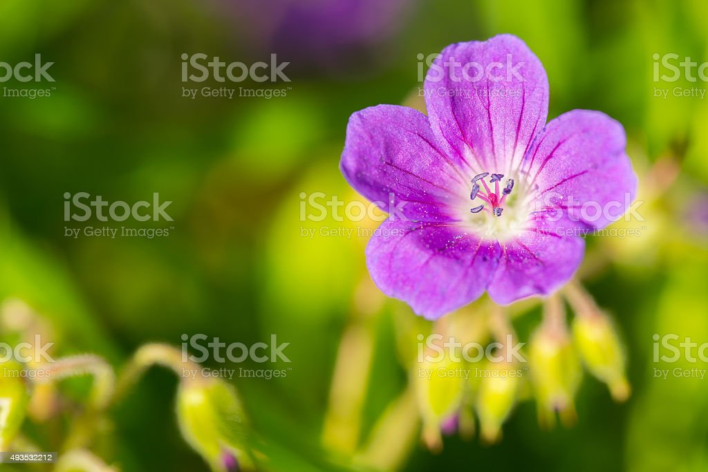 Purple cranesbill stock photo