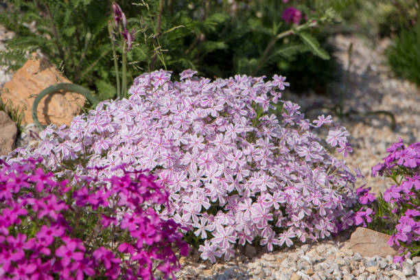 Purple creeping phlox, on the flowerbed. The ground cover is used in landscaping when creating alpine slides and rockeries Purple creeping phlox, on the flowerbed. The ground cover is used in landscaping when creating alpine slides and rockeries. stealth stock pictures, royalty-free photos & images