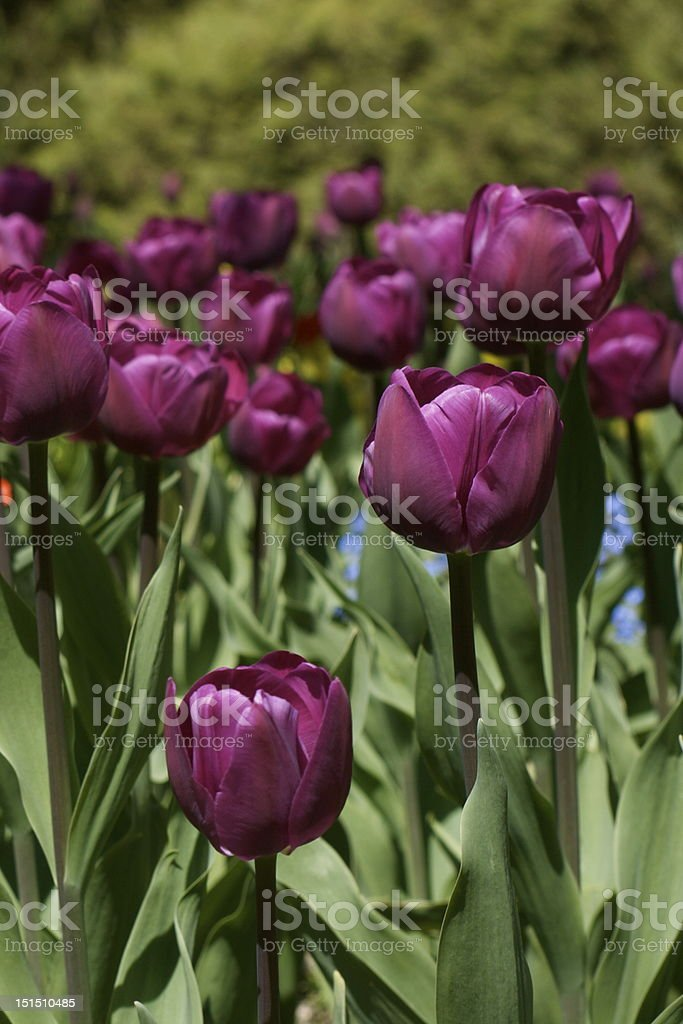 Purple crimson tulips stock photo