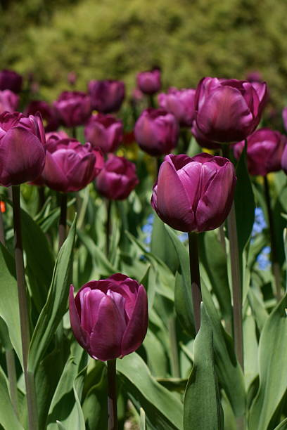 purple crimson tulips - spring border stock photos and pictures