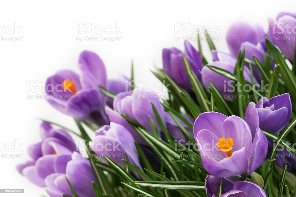purple crocus blossoms in spring royalty-free stock photo