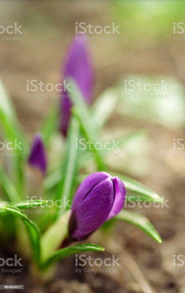 Purple crocus buds. Shot on film royalty-free stock photo