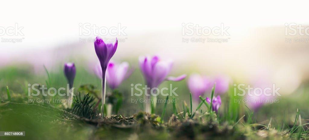 Purple Crocus Flowers In Spring stock photo