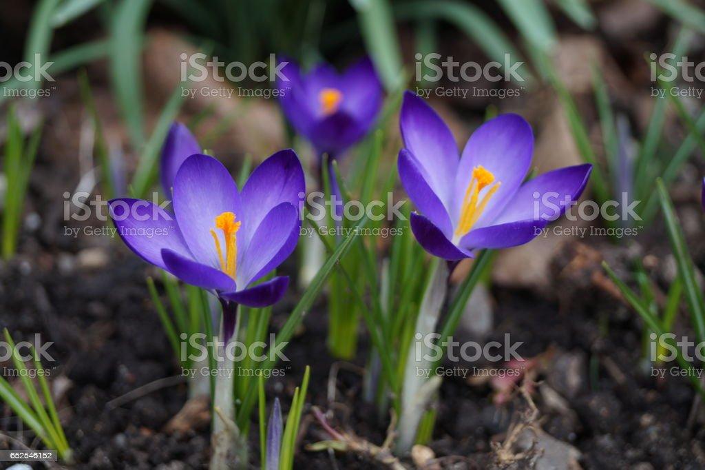 Purple crocus flowers stock photo