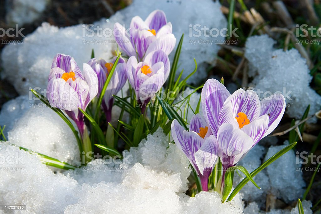 Purple crocus flowers poke out from beneath snow stock photo