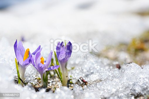Early Spring Crocus in Snow series: group of flowers (shallow depth of field)