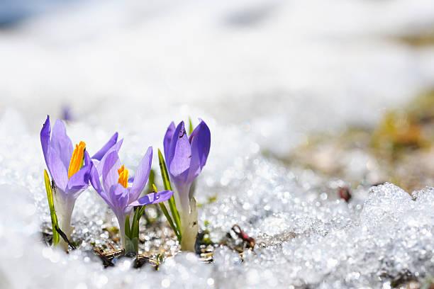 Purple crocus growing in the early spring through snow picture id125546212?b=1&k=6&m=125546212&s=612x612&w=0&h=xmlst t4ebcsiba6ewzpl5vdqycpsvfrlawpwwl0e6m=