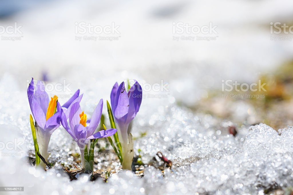 Purple Crocus growing in the early spring through snow stock photo