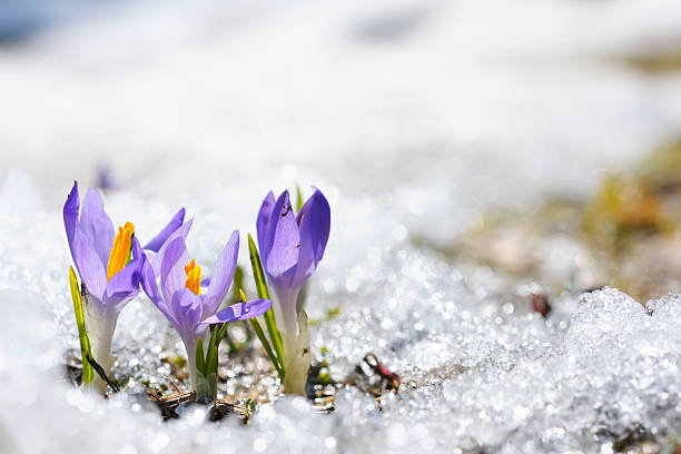 Purple Crocus growing in the early spring through snow