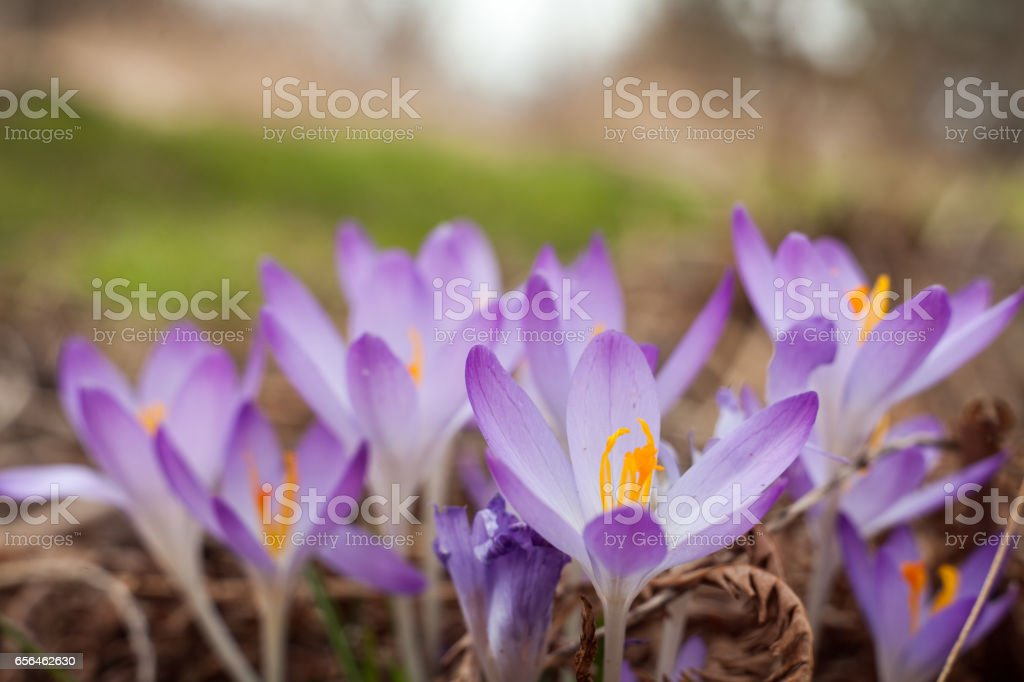 Purple crocus in spring. Blooming crocuses in the clearing. The plant on the saffron. Macro photography flowers on blur background. – zdjęcie