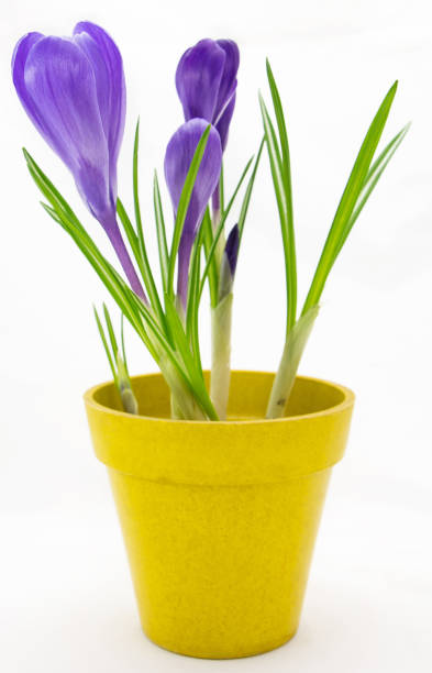 Purple crocus in yellow pot isolated on white background picture id1144383923?b=1&k=6&m=1144383923&s=612x612&w=0&h=91pygeet31czuiktadmtswgrvzh53 2iphmftt5wknk=