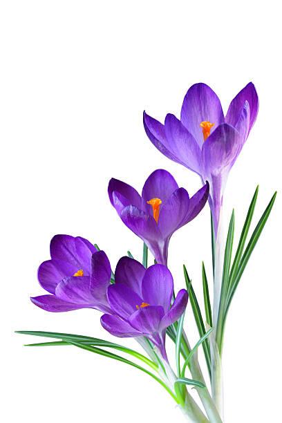 purple crocus - crocus photos et images de collection