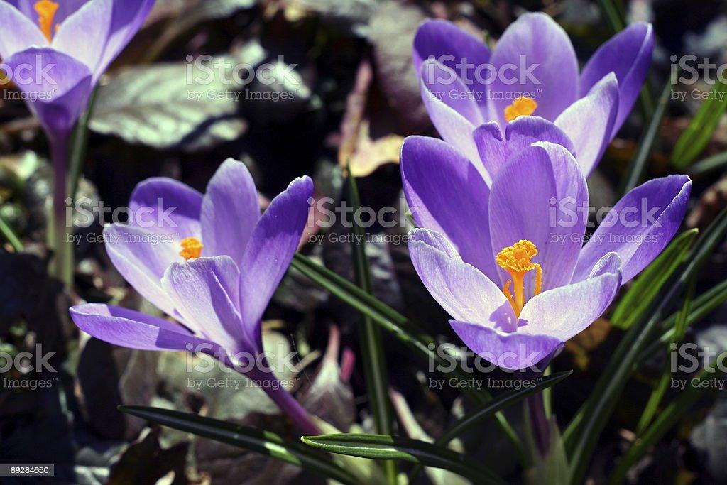 Purple crocus royalty-free stock photo