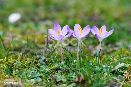 Three purple crocus spring flowers in a row on blurry grass background blooming early during late winter in February due  to very warm weather