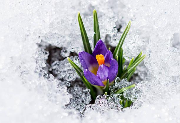 Purple crocus with snow picture id614433332?b=1&k=6&m=614433332&s=612x612&w=0&h=azvx18gltgcbsar17fv38ic70y  t0adyrs u5g6jss=