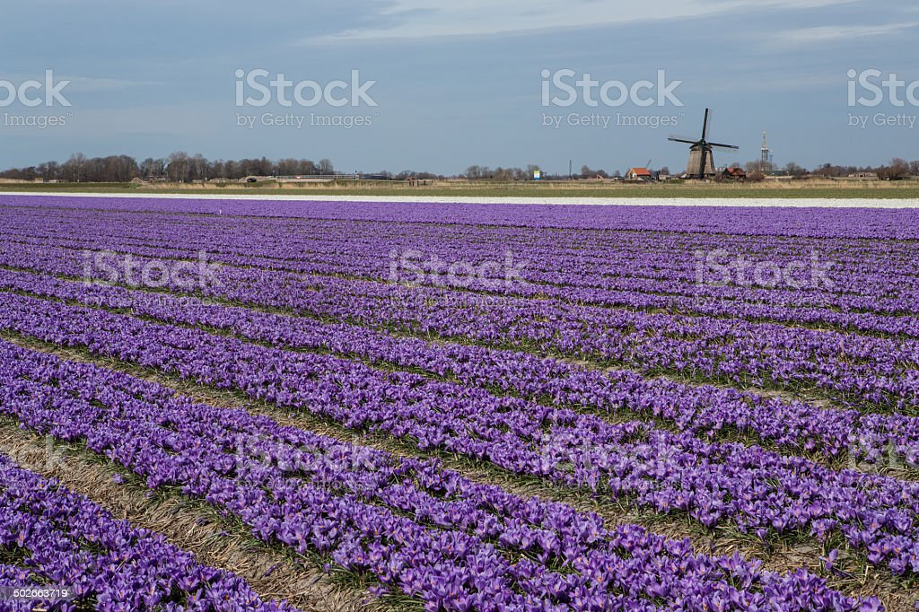 Purple crocuses accent spinning ancient windmill in Holland stock photo