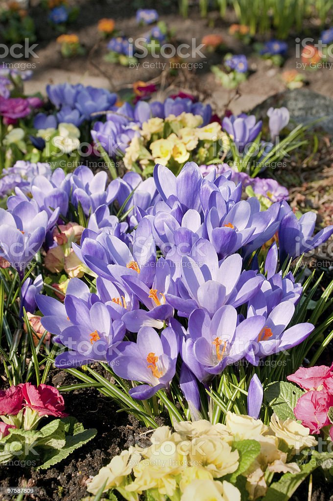 Purple Crocuses and Primroses royalty-free stock photo