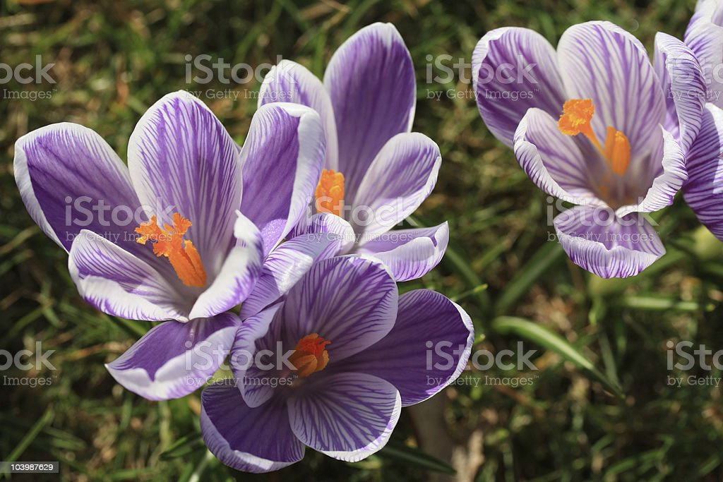 purple crocuses close up royalty-free stock photo