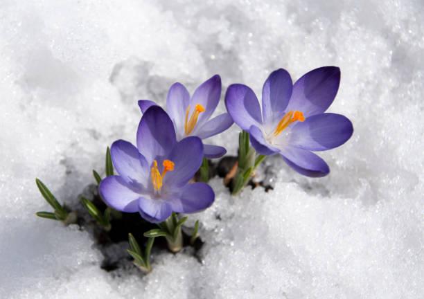 violet crocuses gros plan - crocus photos et images de collection