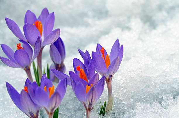 purple crocuses growing up on snow - mike cherim stock pictures, royalty-free photos & images
