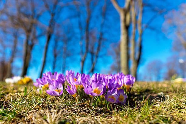 Purple Frühlingskrokussen im Frühling – Foto