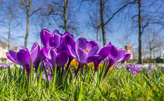 Purple crocuses in the spring in the grass