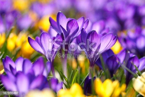 istock Purple crocuses 162355497