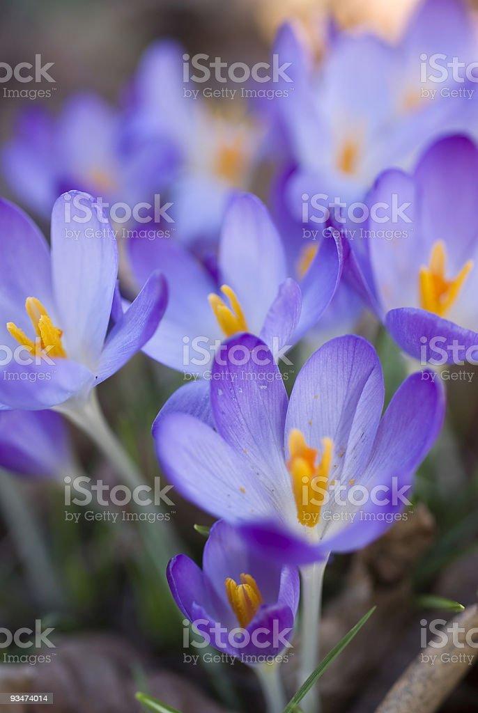 purple crocuses stock photo