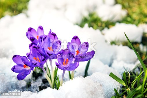 Purple crocuses sprout from the snow. Spring time