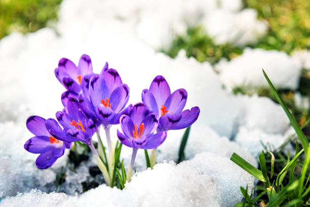purple crocuses sprout from the snow stock photo