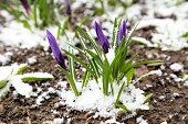 istock Purple crocuses under snow 517152628
