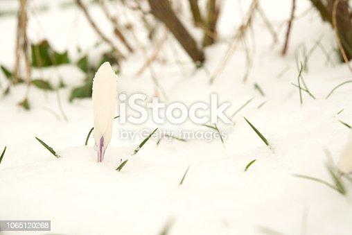 639394370 istock photo Purple crocuses under the snow. 1065120268