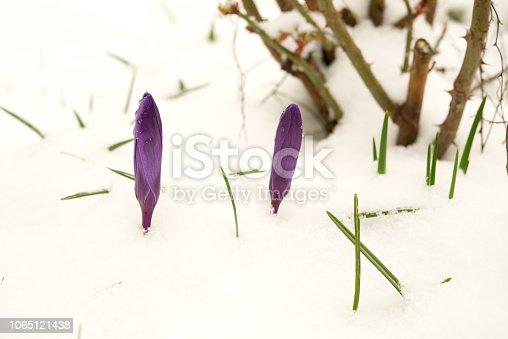 639394370 istock photo Purple crocuses under the snow. 1065121438