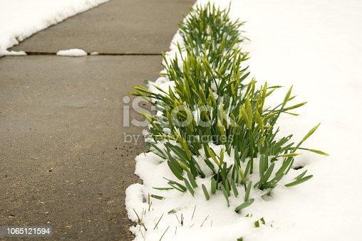 639394370 istock photo Purple crocuses under the snow. 1065121594