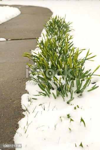 639394370 istock photo Purple crocuses under the snow. 1065121718