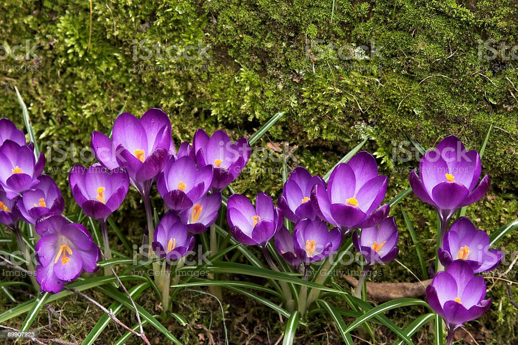 Purple crocusses against moss backdrop I royalty-free stock photo