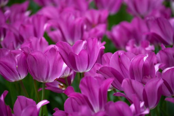 Purple Cyclamen Fresh Tulips stock photo