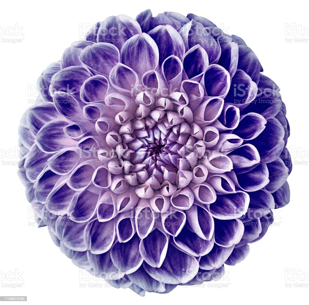 Purple Dahlia Flower White Isolated Background With Clipping Path Closeup No Shadows For Design Nature Stock Photo Download Image Now Istock